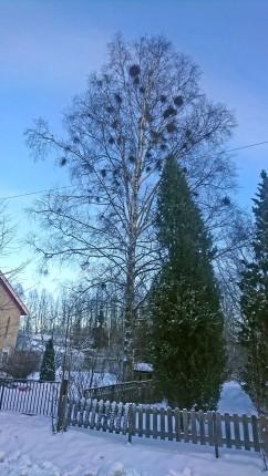 ahoniemenkatu puut