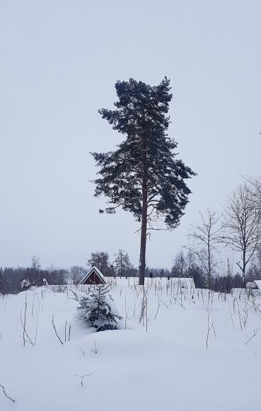 alaniemenkatu puu