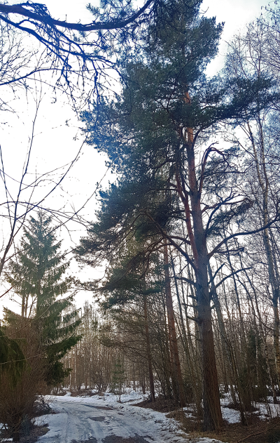 alasjarventie puu